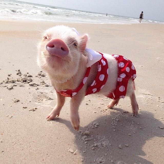 Priscilla, a porquinha mais bela do Instagram