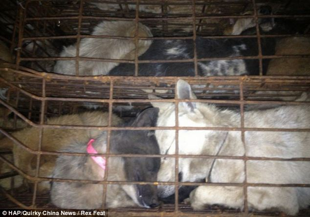 cães-foram-salvos-minutos-antes-de-serem-mortos - Blog-Animal (3)