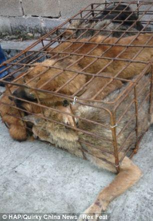 cães-foram-salvos-minutos-antes-de-serem-mortos - Blog-Animal (6)