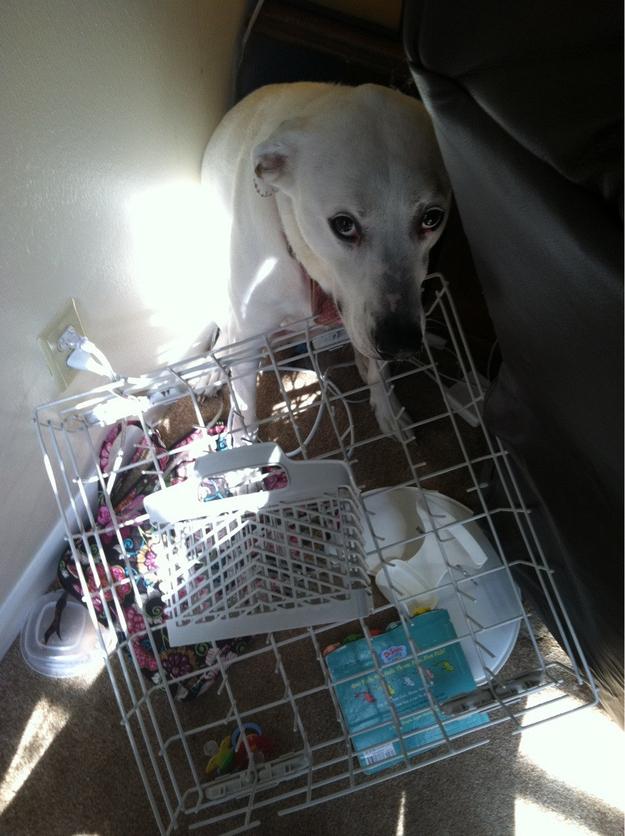 28-Cachorros-que-se-arrependeram-de-suas-decisões-Blog-Animal (1)