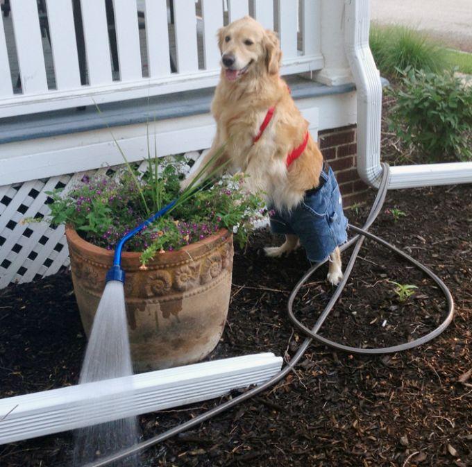 Conheça Bailey, o cão que faz tudo  (10)