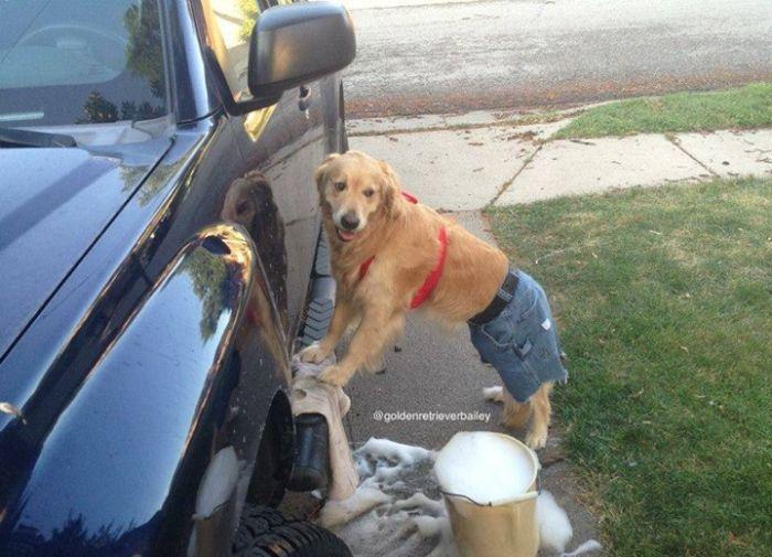 Conheça Bailey, o cão que faz tudo  (9)