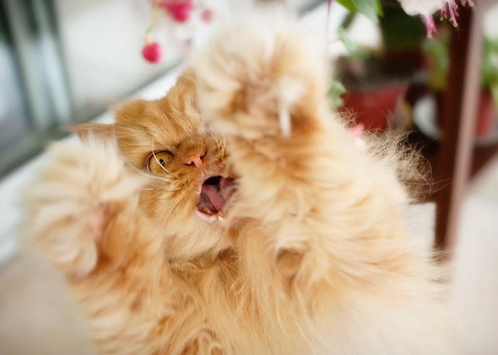 Conheça Garfi, O Gato Mais Raivoso do Mundo (2)