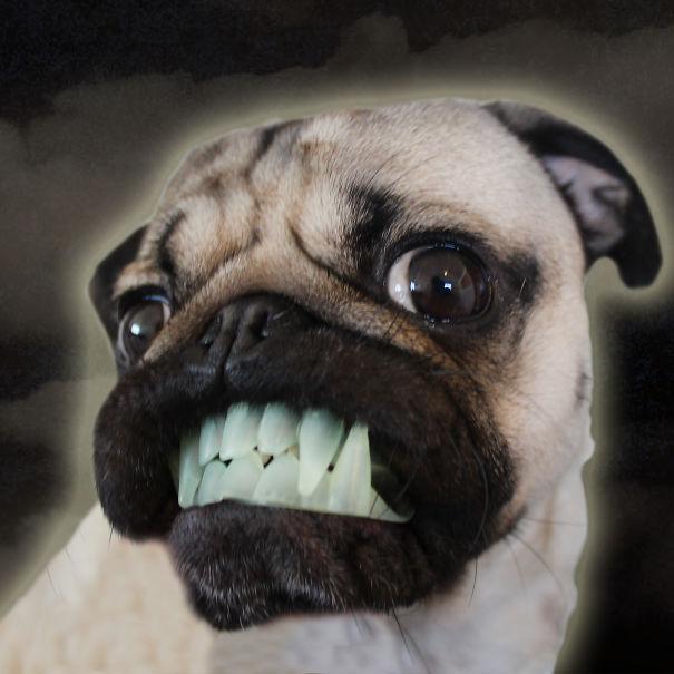 Doug - O Pug que adora Halloween (2)