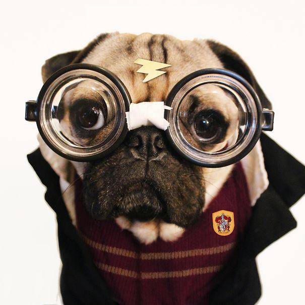 Doug – O Pug que adora Halloween