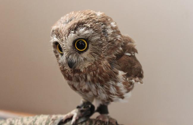 Estas-fotos-provam-que-as-corujas-são-aves-magníficas-Blog-Animal (13)