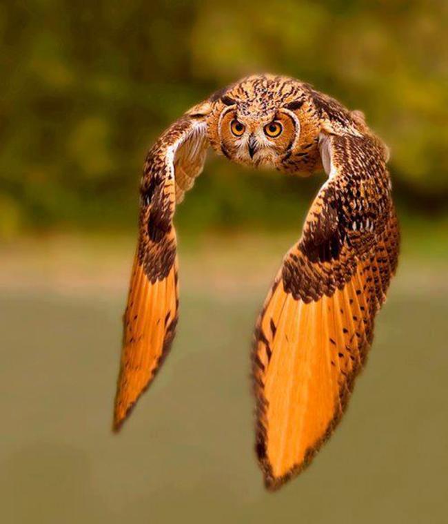 Estas-fotos-provam-que-as-corujas-são-aves-magníficas-Blog-Animal (2)