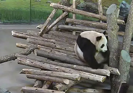 Panda gigante é surpreendido por esquilo