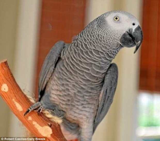 Papagaio-perdido-por-quatro-anos-nos-EUA-reaparece-falando-espanhol-Blog-Animal