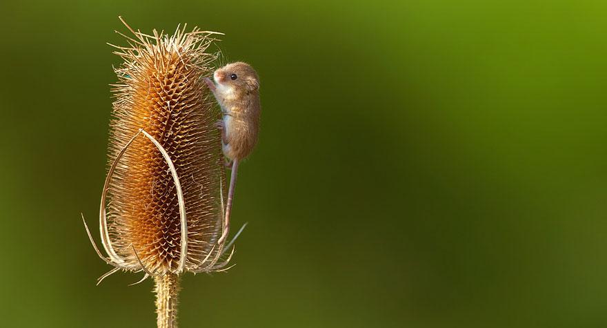 Pequenos camundongos selvagens (15)