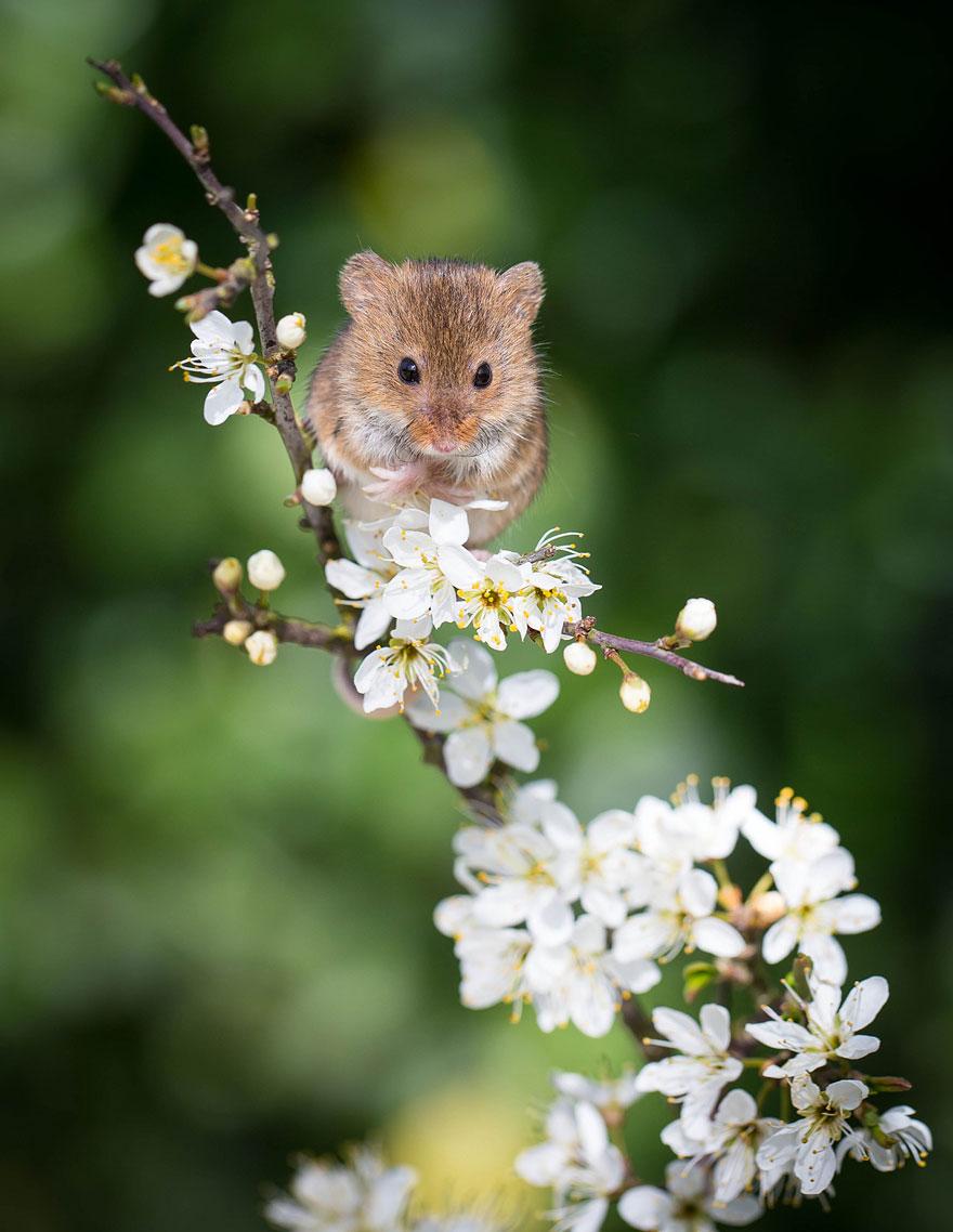Pequenos camundongos selvagens (17)