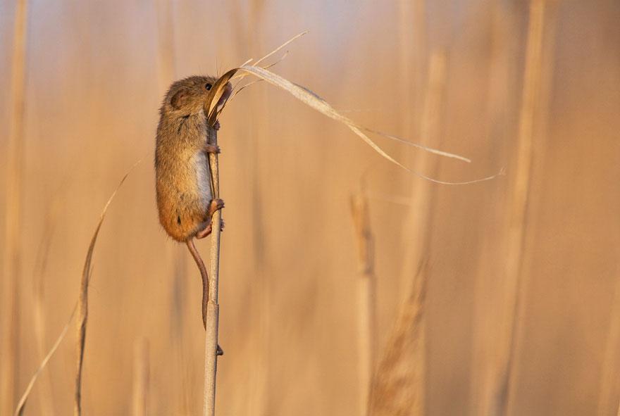 Pequenos camundongos selvagens (2)