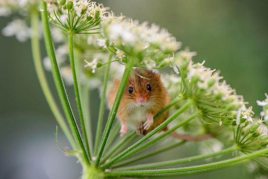 Pequenos camundongos selvagens (6)