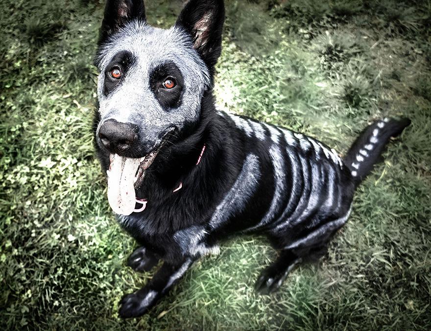 Uso não-tóxico de pintura para transformar animais esqueletos assustadores para o Halloween (2)
