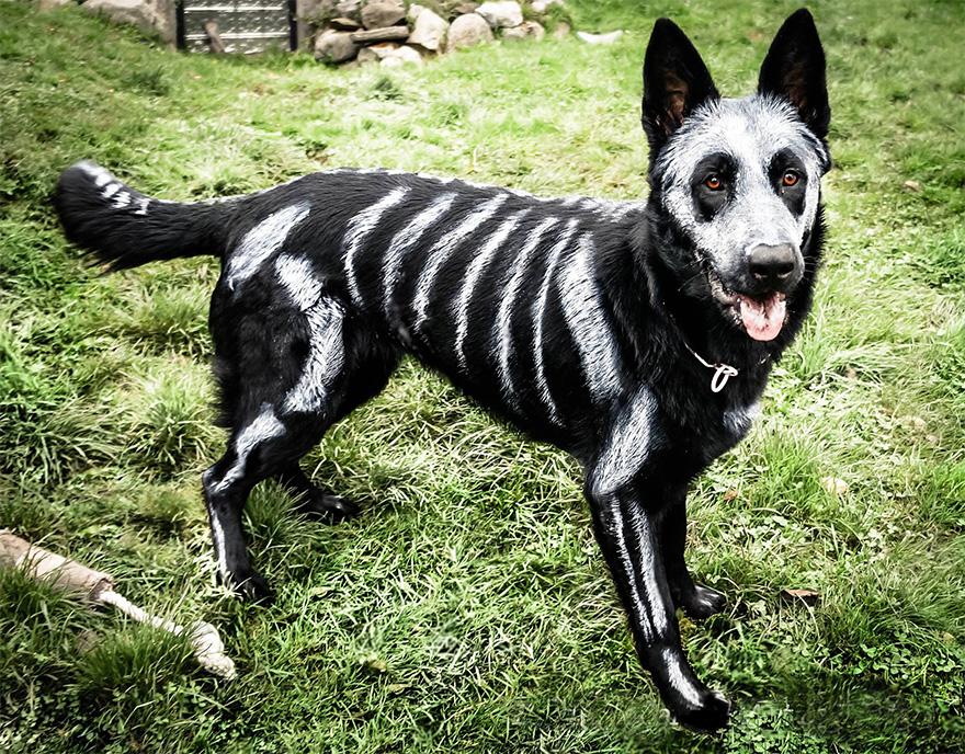 Uso não-tóxico de pintura para transformar animais esqueletos assustadores para o Halloween (5)