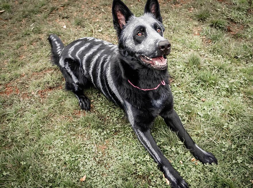 Uso não-tóxico de pintura para transformar animais esqueletos assustadores para o Halloween (6)