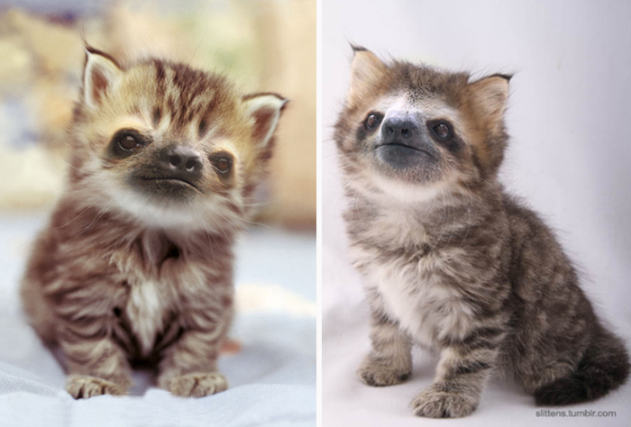 kittens-sloths-combined-slittens-39