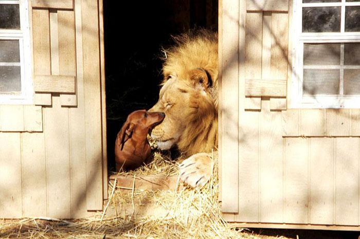 20-Amizades-incomuns-entre-animais-que-são-absolutamente-adoráveis-Blog-Animal (23)