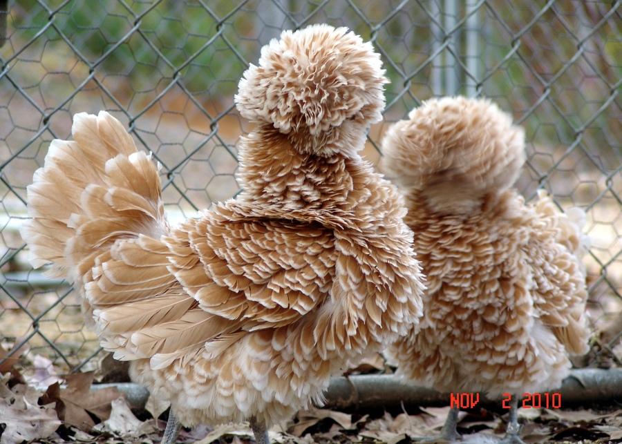 20-Animais-com-seus-longos-e-lindos-pêlos-e-penas-Blog-Animal (1)