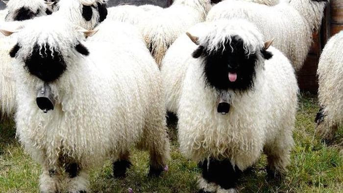 20-Animais-com-seus-longos-e-lindos-pêlos-e-penas-Blog-Animal (14)