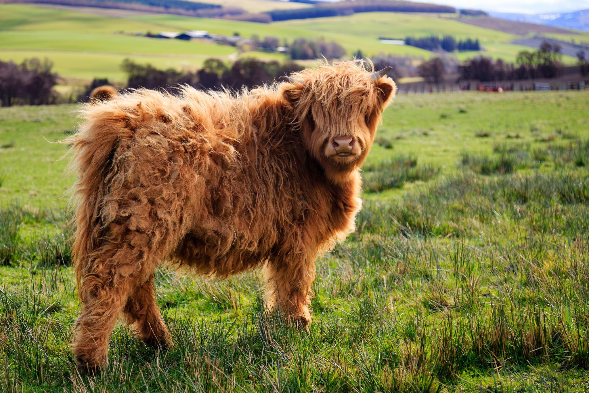 20-Animais-com-seus-longos-e-lindos-pêlos-e-penas-Blog-Animal (2)