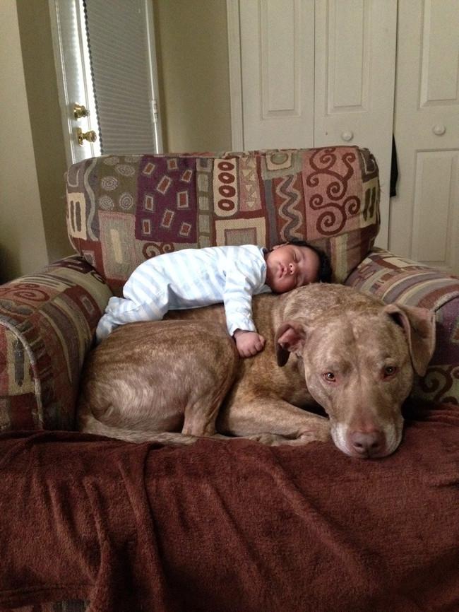 21-imagens-que-provam-que-os-Pit Bulls-também-são-carinhosos-Blog-Animal (10)