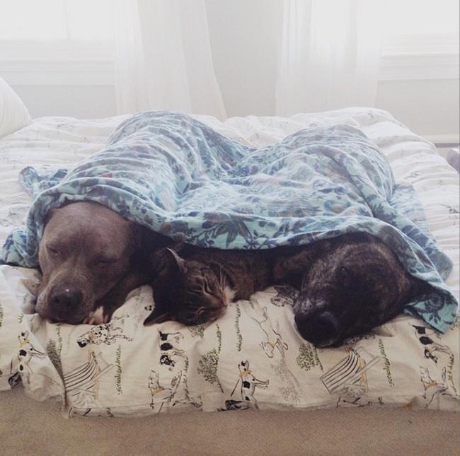 21-imagens-que-provam-que-os-Pit Bulls-também-são-carinhosos-Blog-Animal (11)