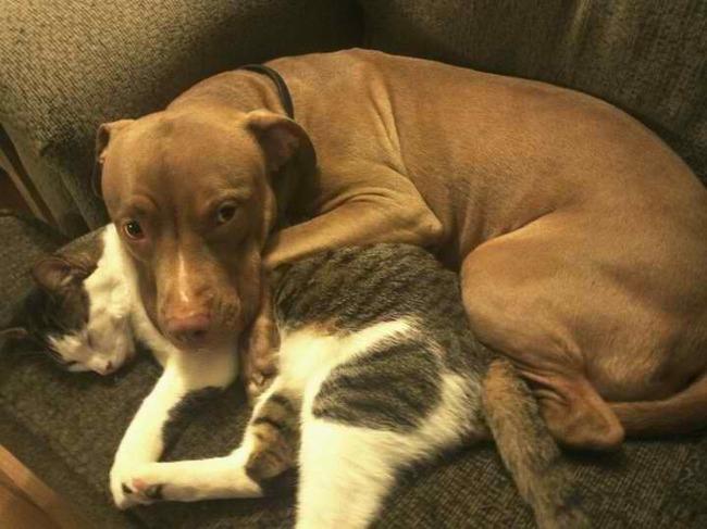 21-imagens-que-provam-que-os-Pit Bulls-também-são-carinhosos-Blog-Animal (12)