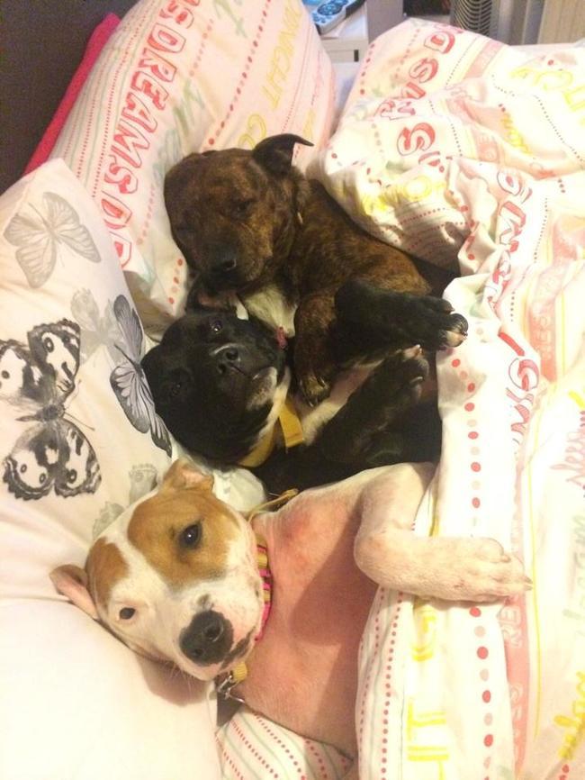 21-imagens-que-provam-que-os-Pit Bulls-também-são-carinhosos-Blog-Animal (13)