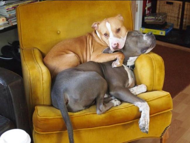 21-imagens-que-provam-que-os-Pit Bulls-também-são-carinhosos-Blog-Animal (3)