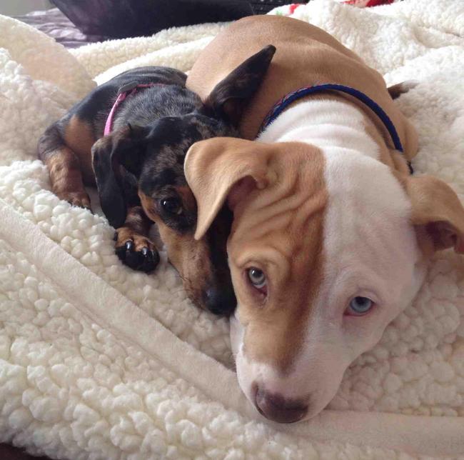 21-imagens-que-provam-que-os-Pit Bulls-também-são-carinhosos-Blog-Animal (5)