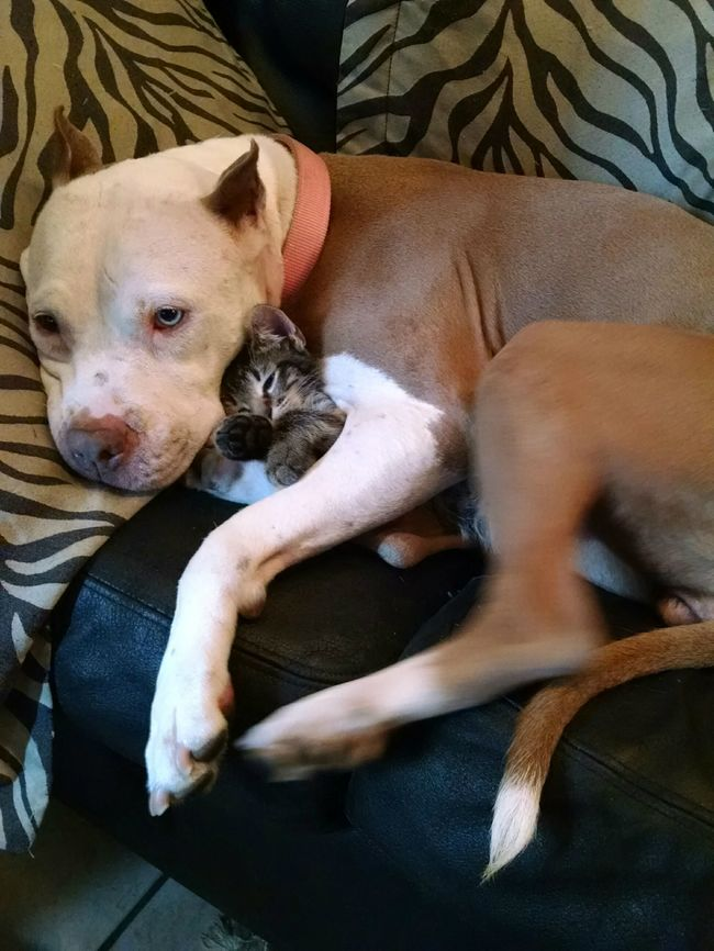 21-imagens-que-provam-que-os-Pit Bulls-também-são-carinhosos-Blog-Animal (8)