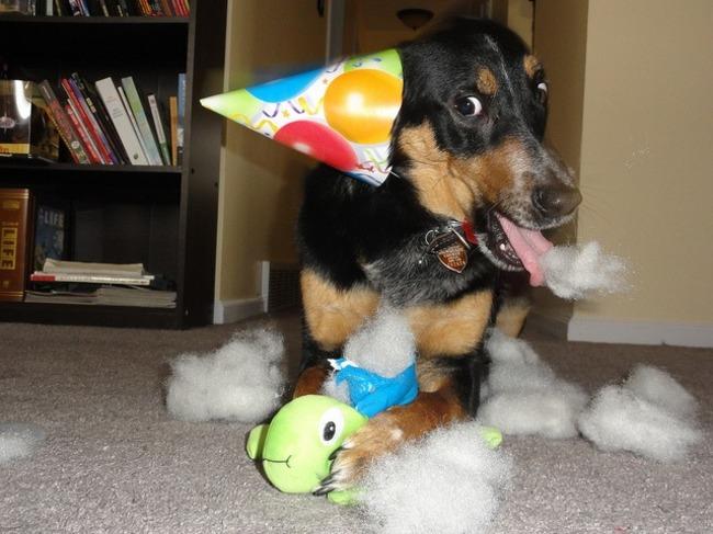 32-Animais-extremamente-felizes-em-suas-festas-de-aniversário-Blog-Animal (22)