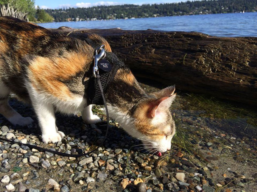 Conheça Honey Bee, um gatinho cego que adora caminhar (4)