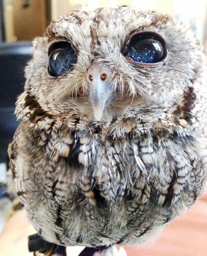 Conheça Zeus: A coruja com estrelas nos olhos