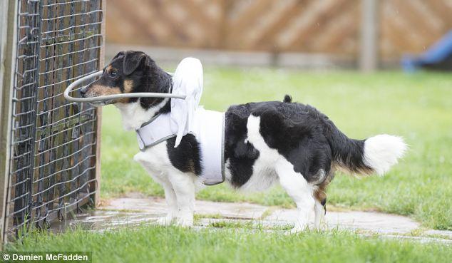 Dispositivo-angelical-salva-cães-cegos-de-se-machucarem-Blog-Animal (3)
