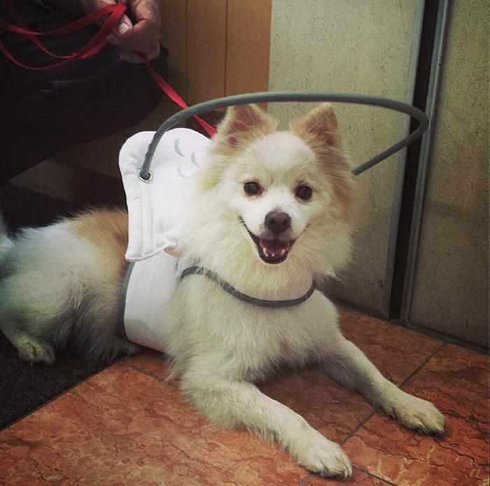 Dispositivo-angelical-salva-cães-cegos-de-se-machucarem-Blog-Animal (7)