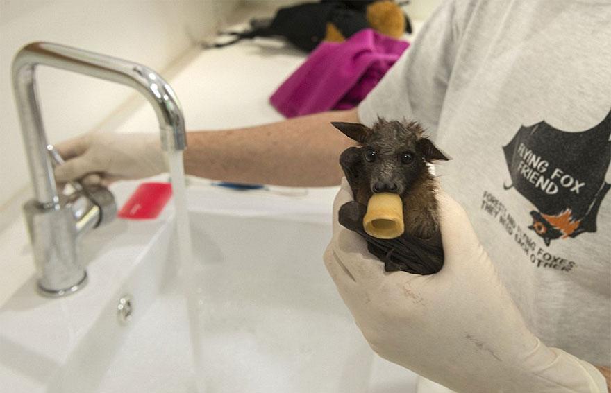 Hospital para morcegos na Austrália (1)