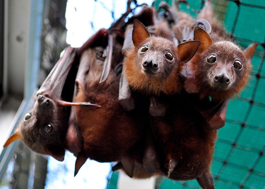 Hospital para morcegos na Austrália (13)