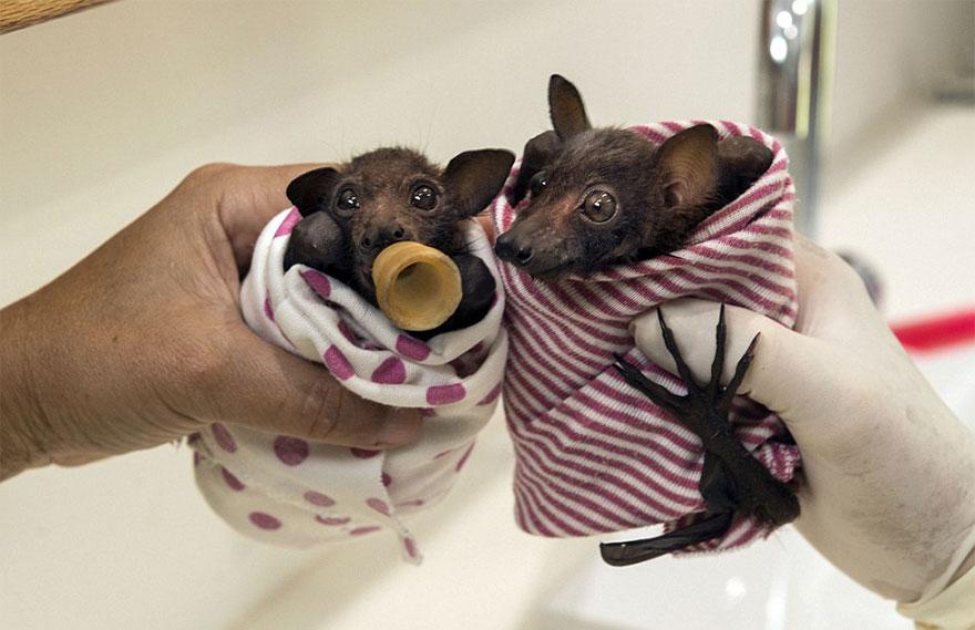 Hospital para morcegos na Austrália (5)