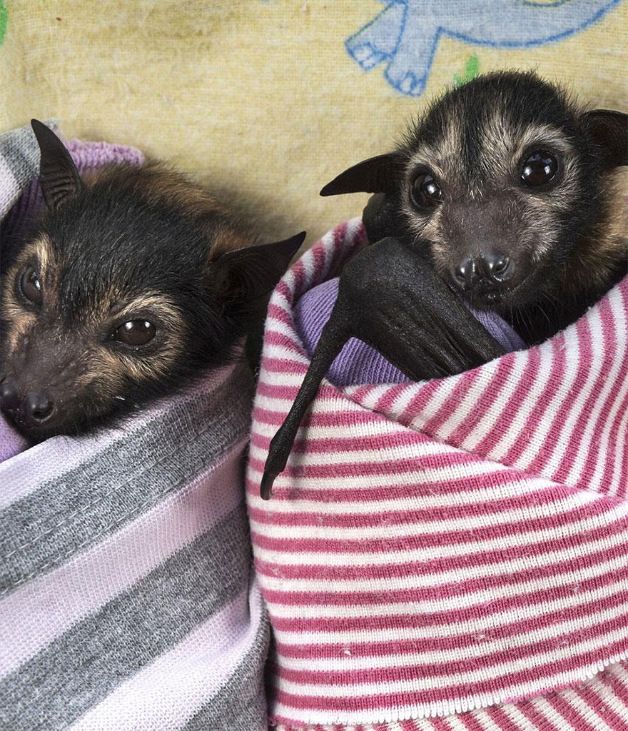 Hospital para morcegos na Austrália (7)