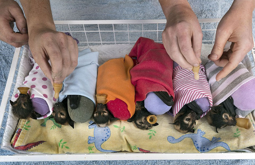 Hospital para morcegos na Austrália (8)