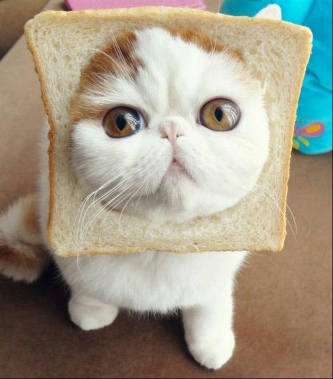 Os-Gatos-Mais-Famosos-da-Internet-Blog-Animal (13)