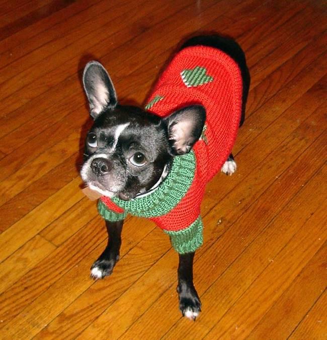 18-Cães-com-roupas-de-Natal-Blog-Animal (10)