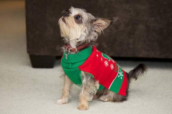 18-Cães-com-roupas-de-Natal-Blog-Animal (15)
