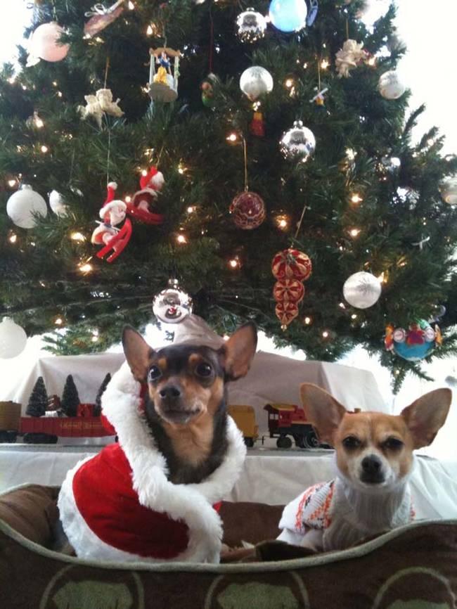 18-Cães-com-roupas-de-Natal-Blog-Animal (17)