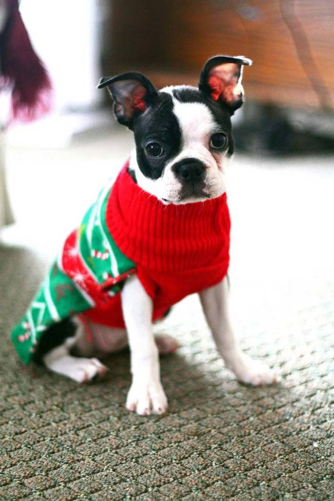 18-Cães-com-roupas-de-Natal-Blog-Animal (18)