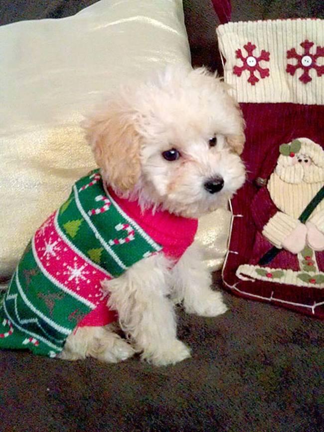 18-Cães-com-roupas-de-Natal-Blog-Animal (3)
