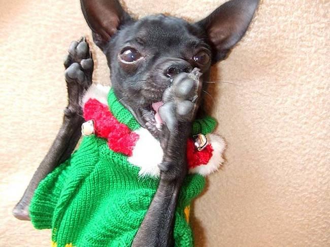 18-Cães-com-roupas-de-Natal-Blog-Animal (6)