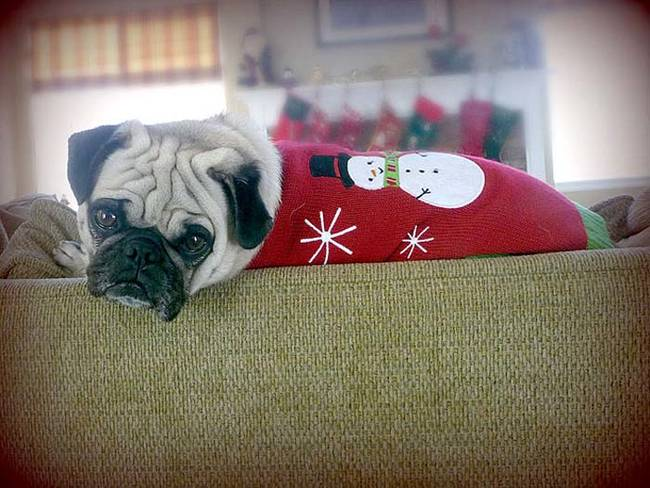 18-Cães-com-roupas-de-Natal-Blog-Animal (8)